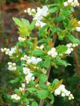 Exochorda serratifolia \'Snow White\'