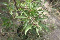 Fagus sylvatica \'Asplenifolia lacin\'