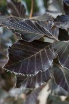Fagus sylvatica \'Dawick purple\' ou hêtre fastigié pourpre, arbre moyen à feuillage pourpre et à port colonnaire.