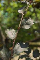 Fagus sylvatica Swat Magret, arbre à grand développement au feuillage pourpre caduc.