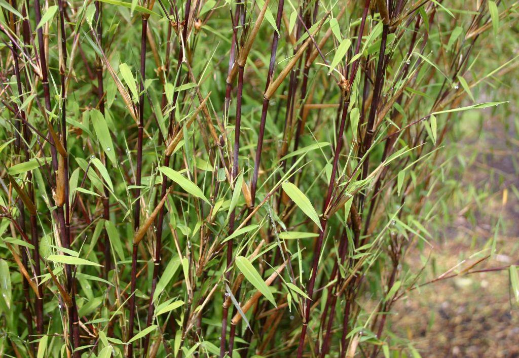 Bambou fargesia jiuzhaigou