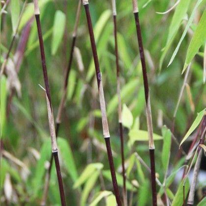 Fargesia sp.Sichuan