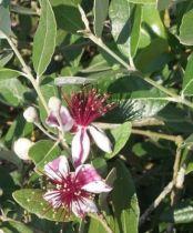 Feijoa sellowiana, arbuste persistant à feuilles vert grisâtre et à floraison blanc et pourpre en été, suivie de fruits jaunes en automne.