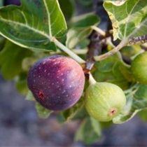 Figuier \'Violette Dauphine\', arbre fruitier caduc à feuille vert sombre et aux fruits violet en automne.