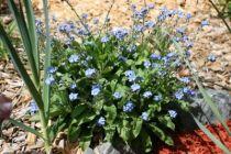 Fleur d\'hiver Myosotis P9