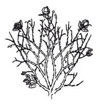 Découvrez la forme d'un rosier arbustif