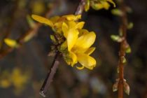 Forsythia intermedia, arbuste caduc au feuillage vert et aux premières fleurs de printemps jaune.