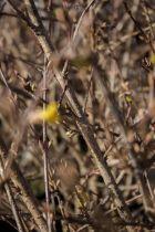 Forsythia viridissima koreana \'Kumson\'