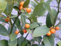 fortunella* hindsii - Kumquat \'Hong kong\'