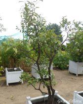 Fortunella* margarita - Kumquat