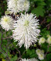 Fothergilla gardenii \'Mount Airy\'