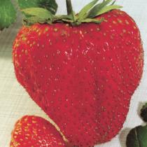 fraisier_maxim.2
