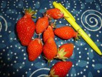 fraise gariguette, allongée, rouge orangé, très parfumée, en mai-juin. Variété précoce, non remontante.