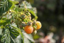 Framboisier \'Goodasgold\'® - Rubus idaeus