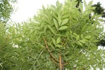Fraxinus excelsior \'Jaspidea\'