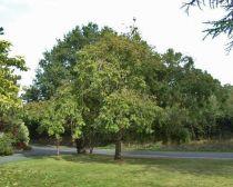 Fraxinus excelsior \'Pendula\' ou frêne pleureur, arbre à port pleureur pour les jardins, feuillage de couleur jaune en automne, vert le reste de l\'année.