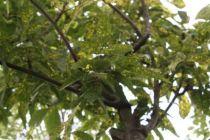 Fraxinus pennsylvanica \'Aucubaefolia\'