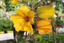 Fremontodendron californicum \'California Glory\'