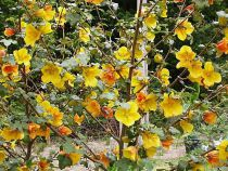 Fremontodendron californicum \'California Glory\'