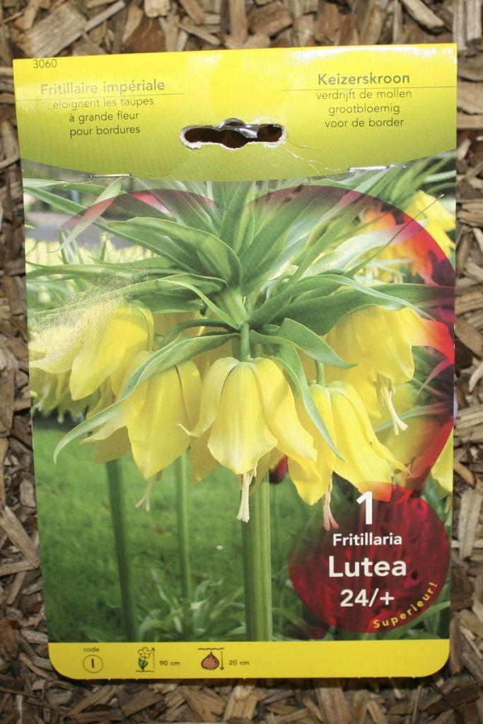 Fritillaria \'Luthea\'