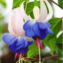 Fuchsia* \'Blue Sarah\'
