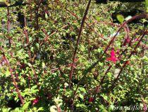 Fuchsia* microphylla