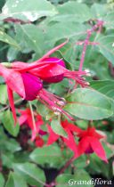 Fuchsia* Mrs Popple
