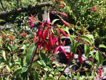 Fuchsia* regia \'Reitzii\'