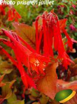 Fuchsia fulgens