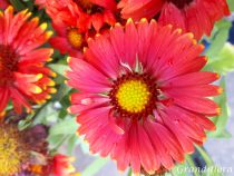 Gaillardia aristata \'Arizona Red\'