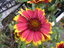 Gaillardia aristata \'Arizona Sun\'