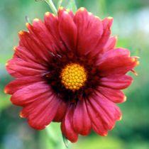Gaillardia aristata \'Burgundy\'