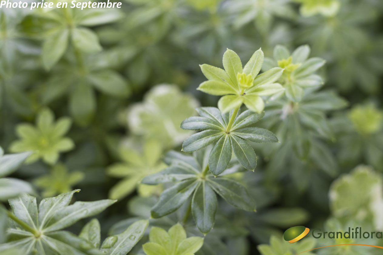 Galium odoratum - Asperule