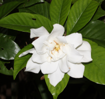 Gardenia Jasminoides \'Crown jewel\'