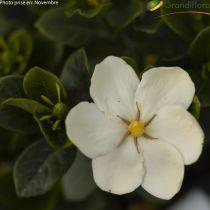 Gardenia jasminoides \'Kleim\'s Hardy\'