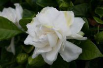 Gardenia jasminoides Tige