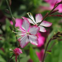 Gaura lindheimeri \'Summer Emotions\'