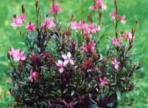 GAURA lindheimeri \'sunset dream\'