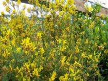 Genista tinctoria \'Royal Gold\'