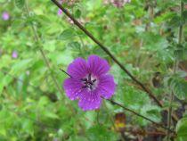 Geranium \'Daily Purple\'