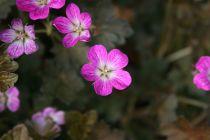 Geranium \'Orkney Cherry\'