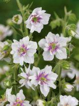 Geranium Algera double