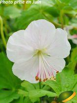 Geranium cantabrigiense \'Saint Ola\'