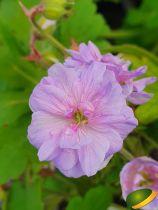 Geranium Else \'Lacey\'