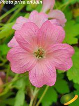 Geranium endressii \'Wargrave Pink\'
