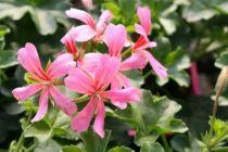 Géranium lierre simple \'Rose à bois vert\'