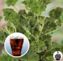 Géranium odorant \'Cola\' - pelargonium x species