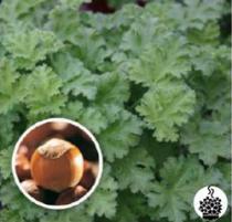 Géranium odorant \'Hazelnut\' - pelargonium x species