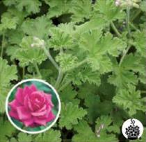 Géranium odorant \'Rose\' - pelargonium x species