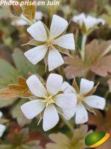 Geranium oxonianum \'Sanne\'